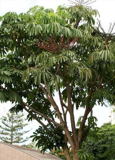 Schefflera actinophylla Scheff10