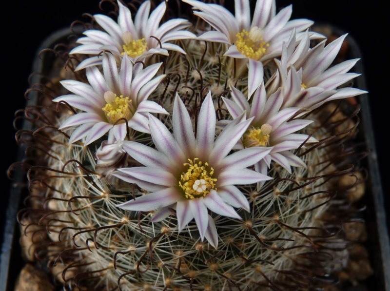 First Mammillaria pictures 2014 00227