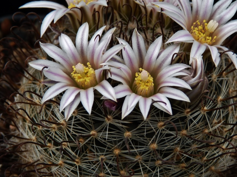 First Mammillaria pictures 2014 00521