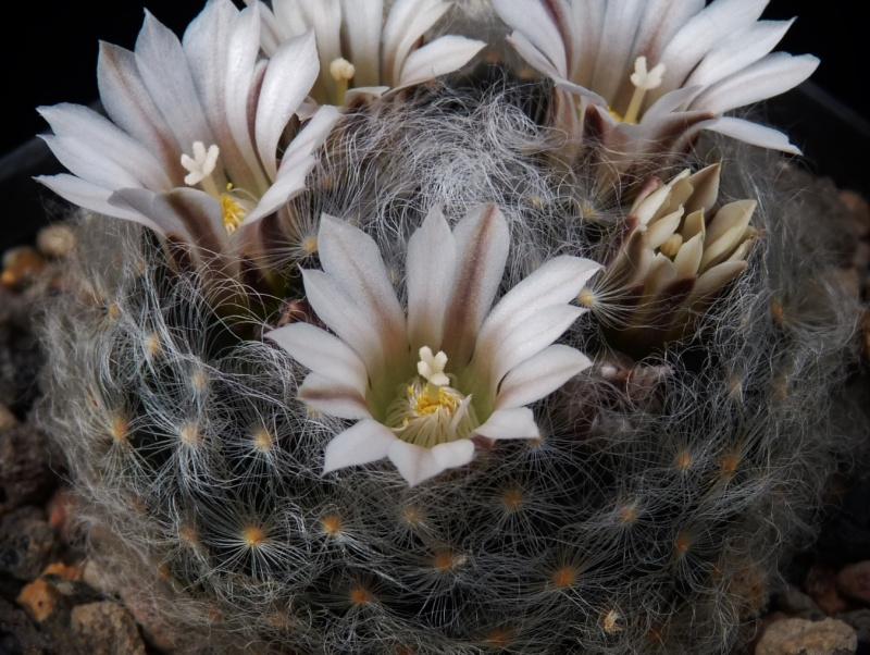 First Mammillaria pictures 2014 00820