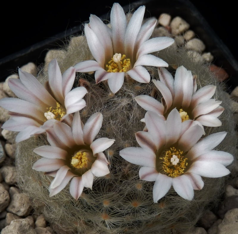 First Mammillaria pictures 2014 00916