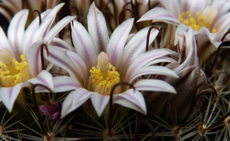 First Mammillaria pictures 2014 01016