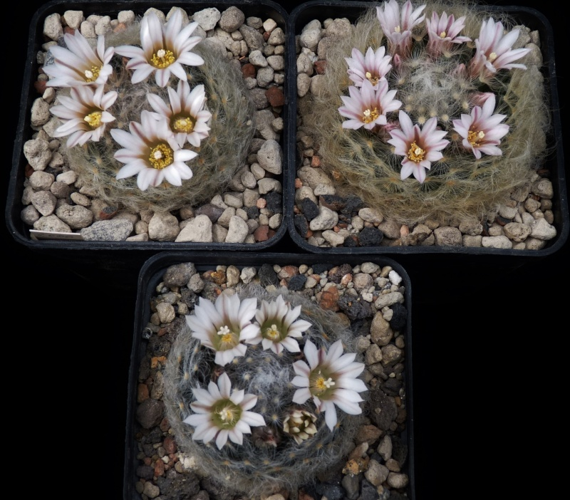 First Mammillaria pictures 2014 01113