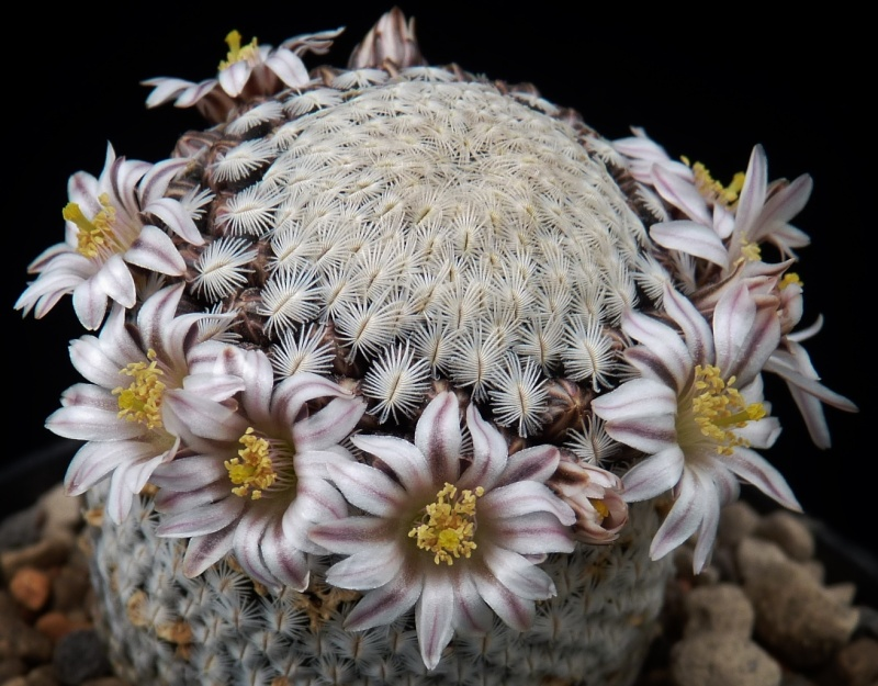 First Mammillaria pictures 2014 01515