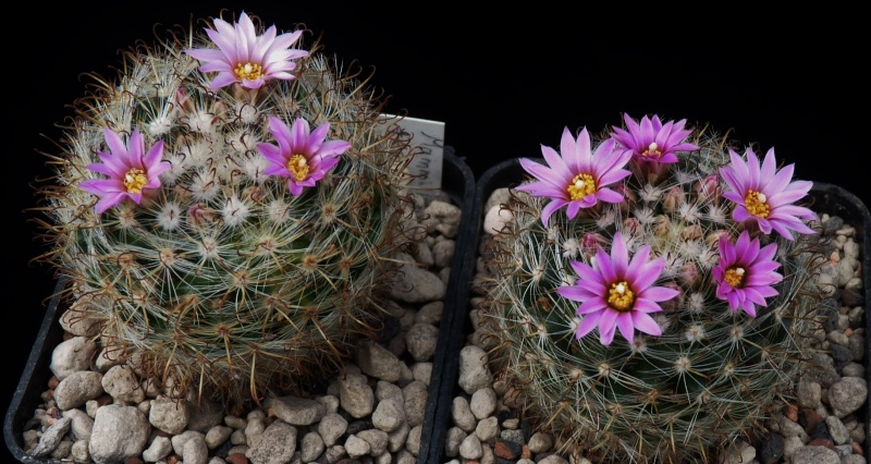 First Mammillaria pictures 2014 02212