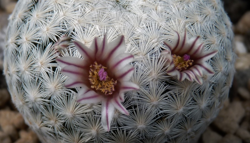First Mammillaria pictures 2014 02412