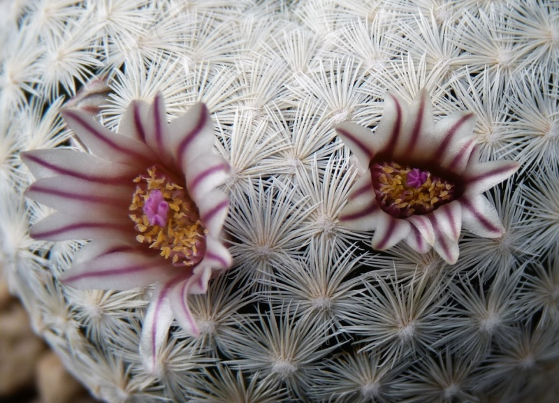 First Mammillaria pictures 2014 02613