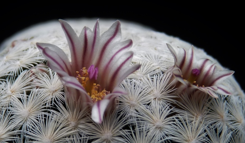 First Mammillaria pictures 2014 03210