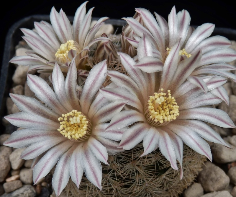 First Mammillaria pictures 2014 03712