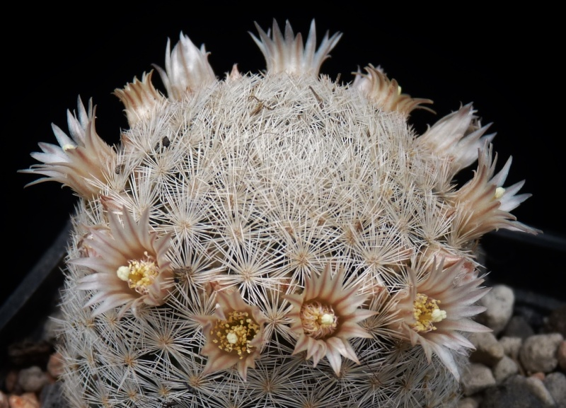 First Mammillaria pictures 2014 03914