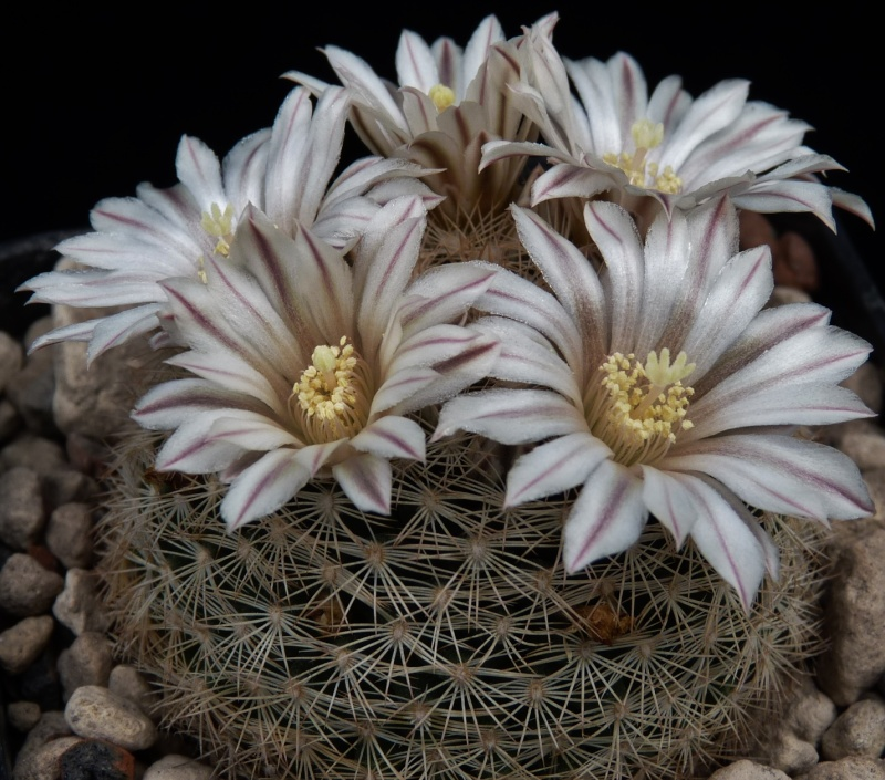 First Mammillaria pictures 2014 04012