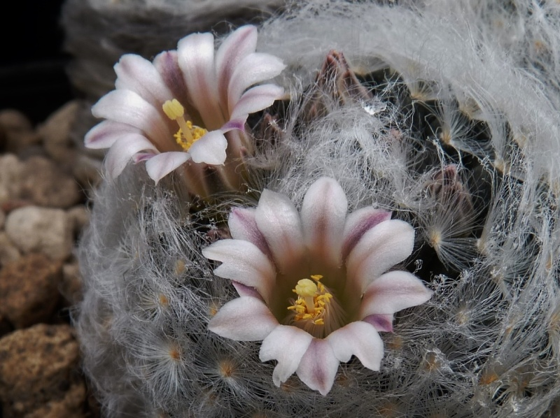 First Mammillaria pictures 2014 04410
