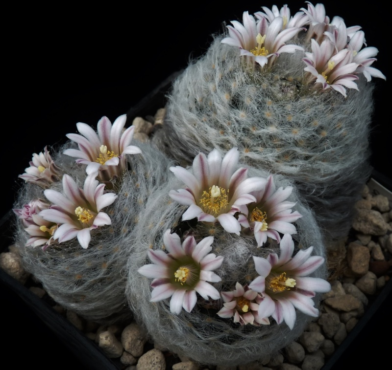 First Mammillaria pictures 2014 05011