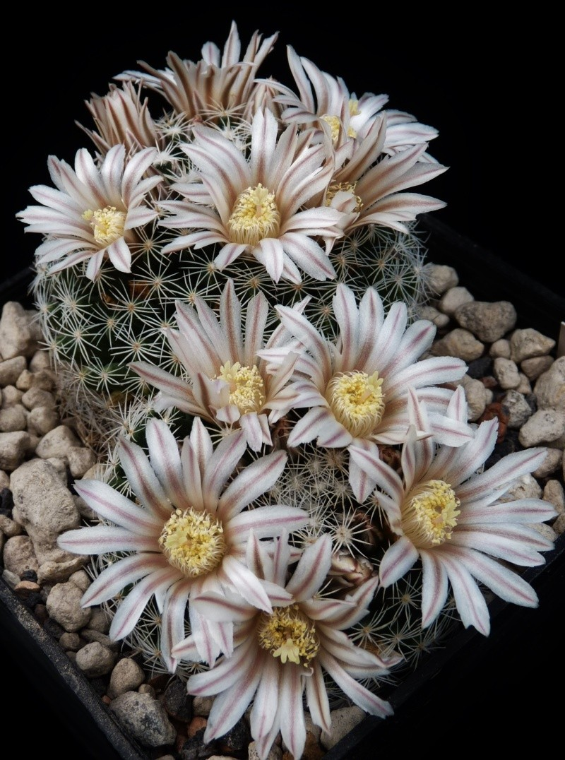 First Mammillaria pictures 2014 05410