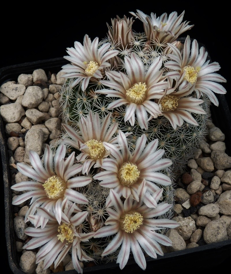 First Mammillaria pictures 2014 05610