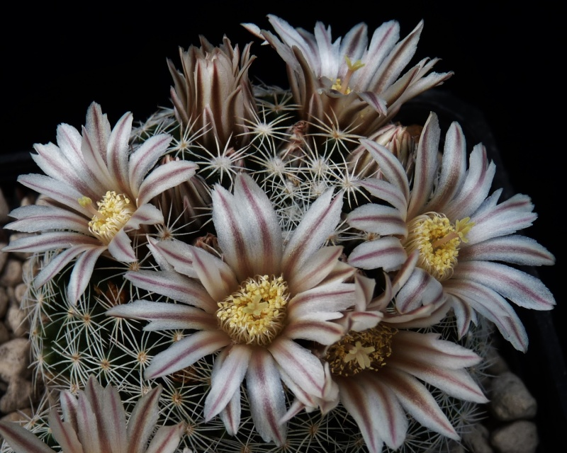 First Mammillaria pictures 2014 05810