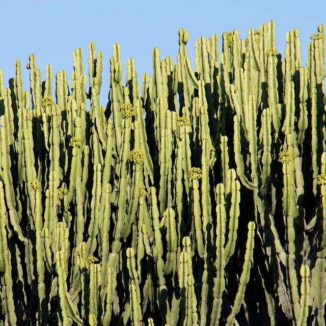 Euphorbia ingens 1c3e0e10