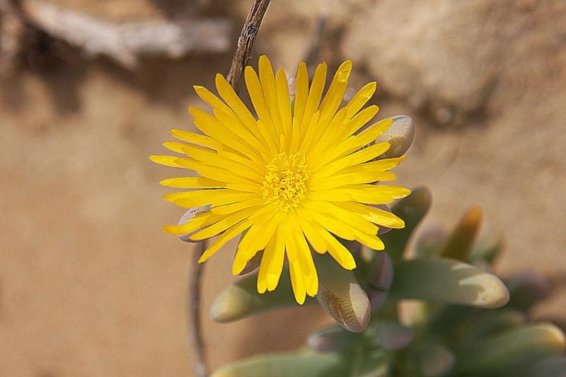 Malephora crassa 21ffae10