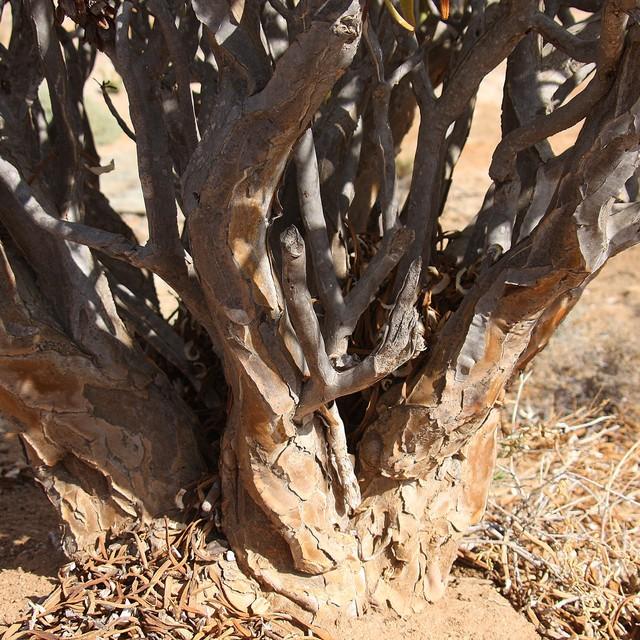 Aloe ramosissima 2f622f10