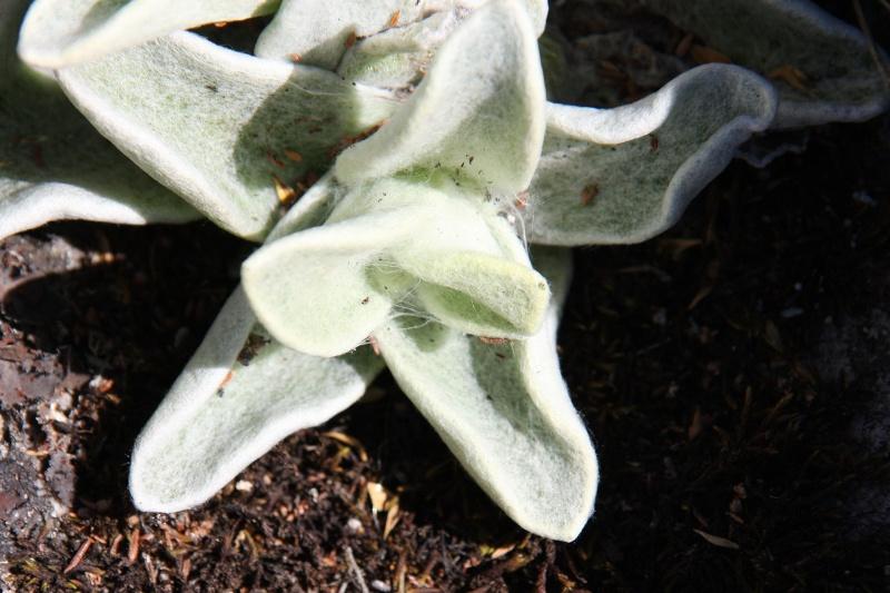 Tribus Gnaphalieae der Unterfamilie Asteroideae innerhalb der Korbblütler (Asteraceae) 31609410