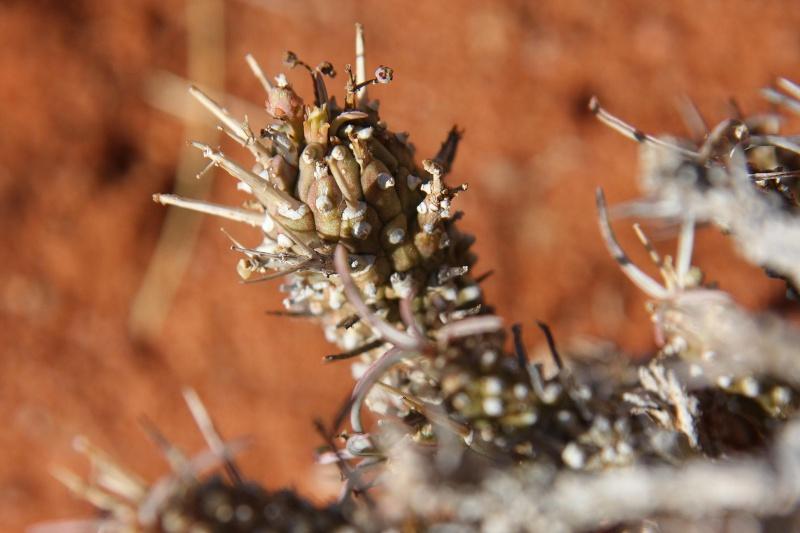 Euphorbia namibensis 557b8c10