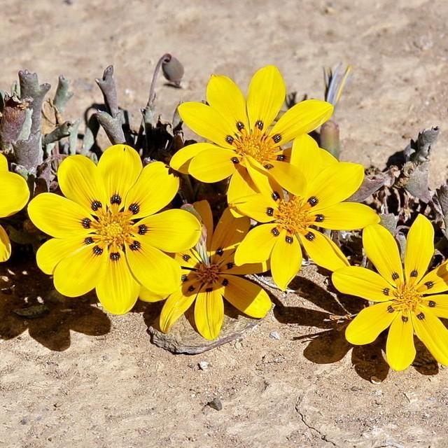 Tribus Arctotideae der Korbblütler (Asteraceae) 6a672310