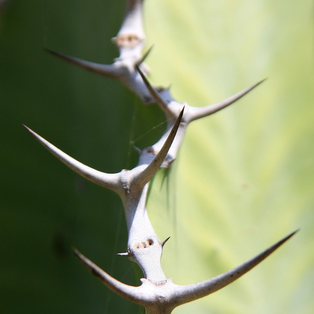 Euphorbia cooperi var. calidicola  782f6e10