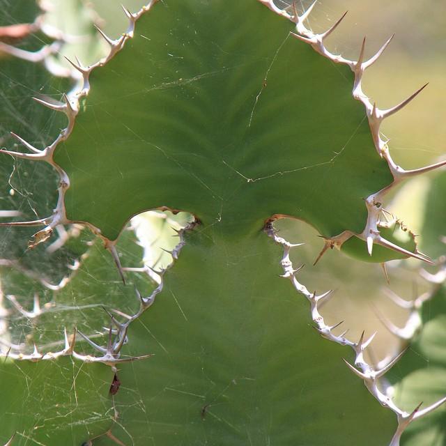 Euphorbia cooperi var. calidicola  792c8110