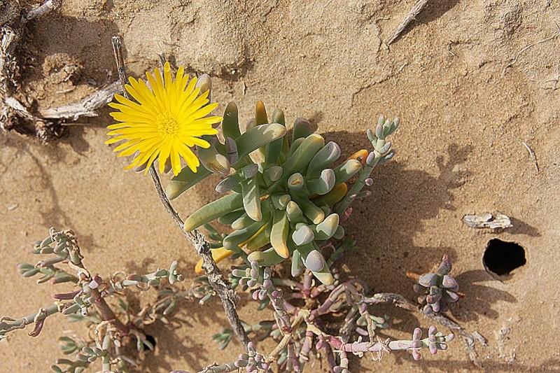 Malephora crassa 86109a10