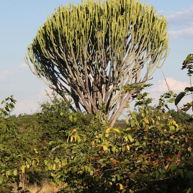 Euphorbia ingens 92386d10