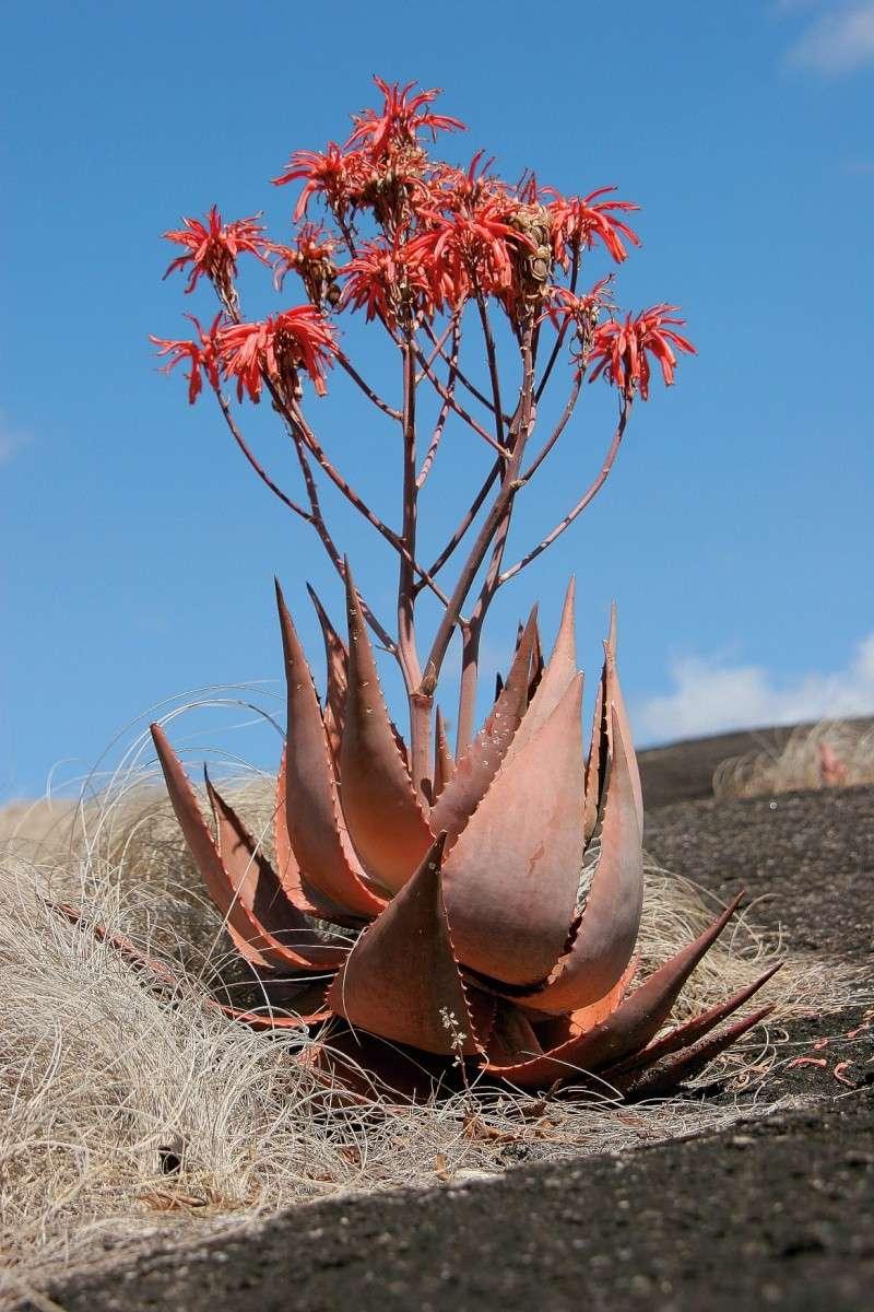 Aloe chabaudii C0950710