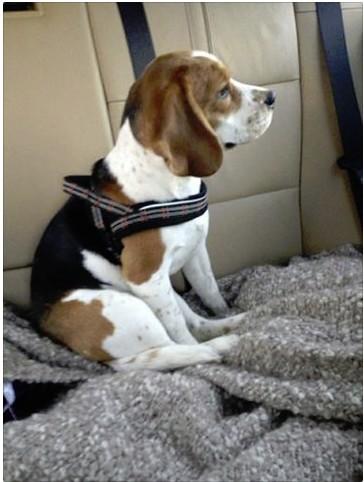 URGENT Petite beagle de 6 mois à placer région Lausanne Screen10
