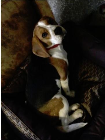 URGENT Petite beagle de 6 mois à placer région Lausanne Screen11