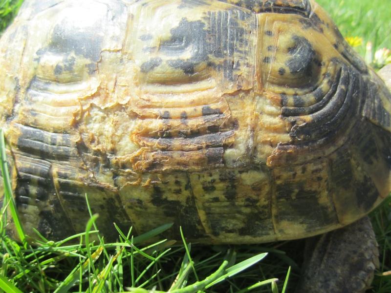 tortue graeca graeca ou graeca iberia Img_4518