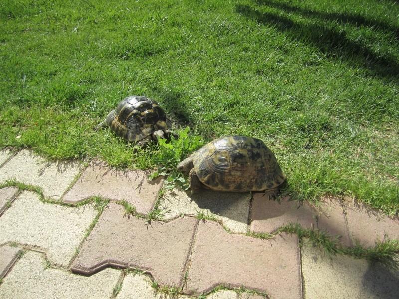 tortue graeca graeca ou graeca iberia Img_4519
