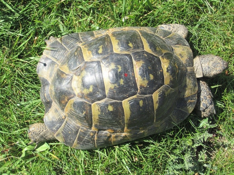 tortue graeca graeca ou graeca iberia Img_4611