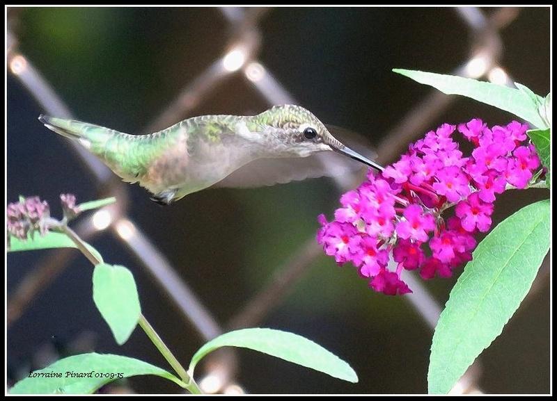 Comment attirer le colibri? 01-09-11