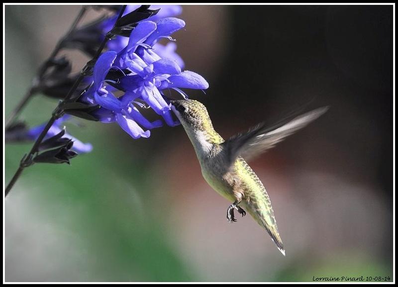 Comment attirer le colibri? 10-08-10