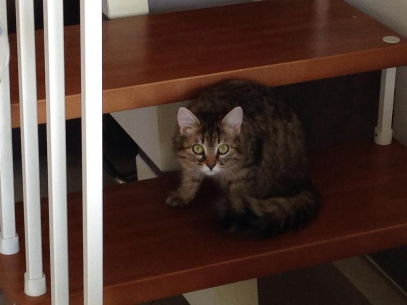 adoptées 2 chatonnes 3/4 mois tigrées poil long chateki04  16542010