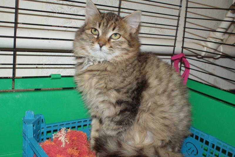adoptées 2 chatonnes 3/4 mois tigrées poil long chateki04  32210