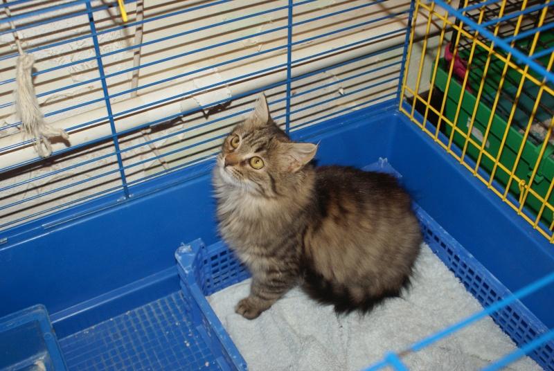 adoptées 2 chatonnes 3/4 mois tigrées poil long chateki04  33211