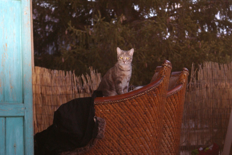 adoptés Les 4 chats bleus  en urgence chateki04 40210