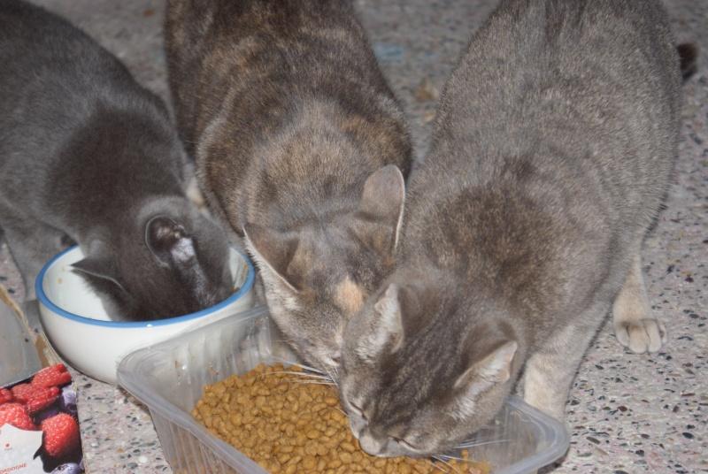 adoptés Les 4 chats bleus  en urgence chateki04 40410