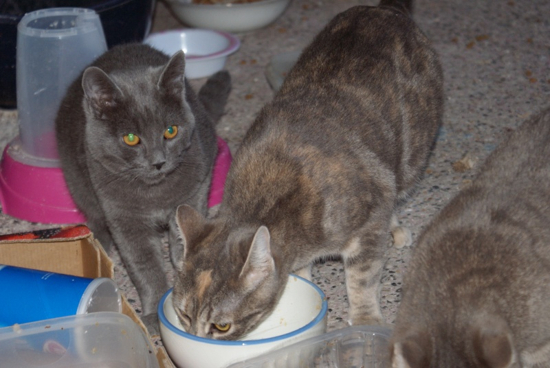 adoptés Les 4 chats bleus  en urgence chateki04 40510