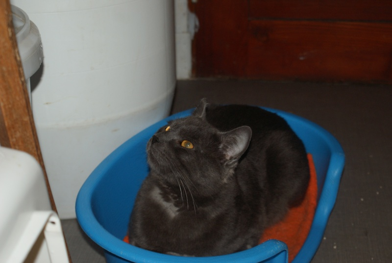 adoptés Les 4 chats bleus  en urgence chateki04 Chat_b14