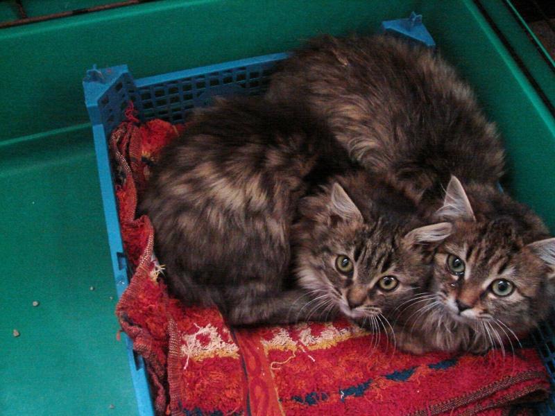 adoptés chatons poil long 3/4mois male et femelles chateki04 Chaton26