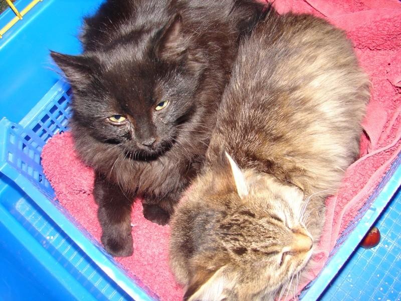 adoptés chatons poil long 3/4mois male et femelles chateki04 Chaton29