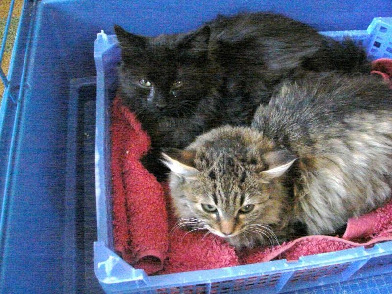 adoptés chatons poil long 3/4mois male et femelles chateki04 Chaton30