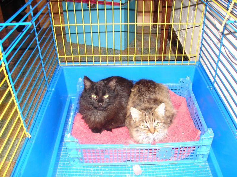 adoptés chatons poil long 3/4mois male et femelles chateki04 Chaton37