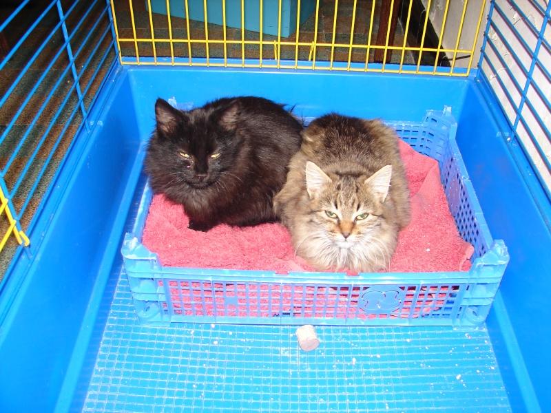 adoptés chatons poil long 3/4mois male et femelles chateki04 Chaton38